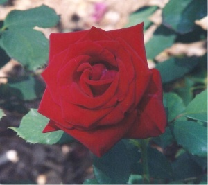 Red Rose At Nixon Library