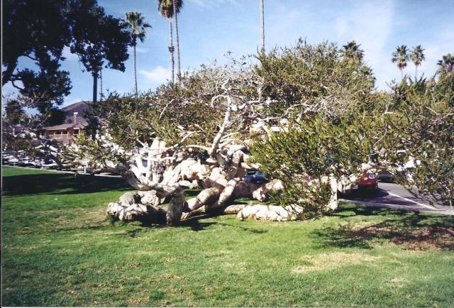 Gnarled Tree at Laguna Beach