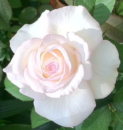 Moonstone rose photo (3)