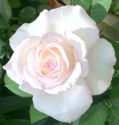 Moonstone rose photo (3)
