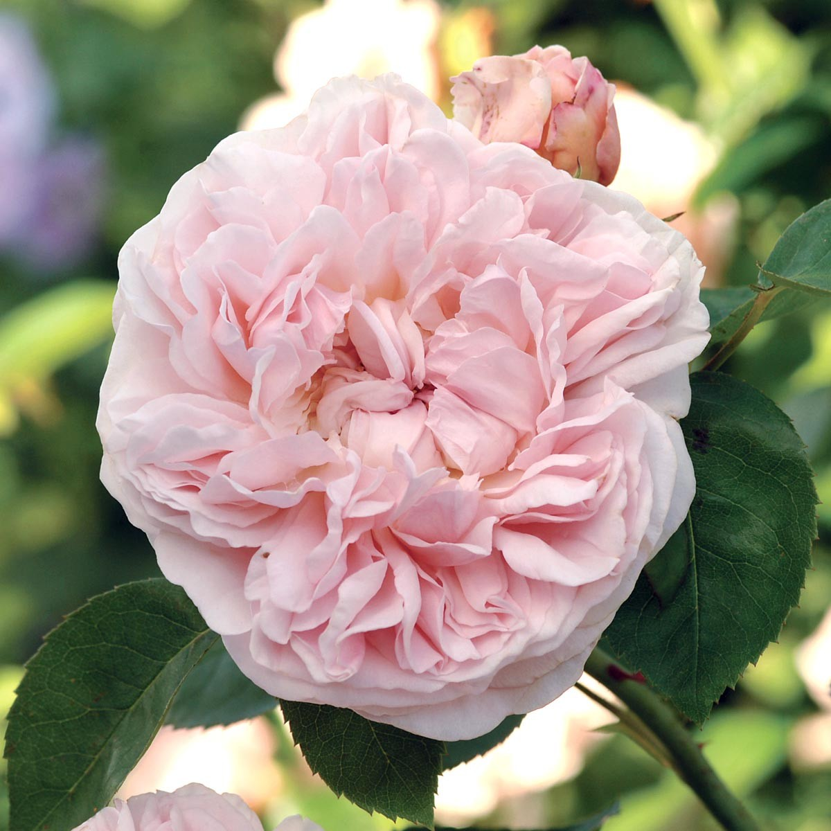St. Swithun Roses