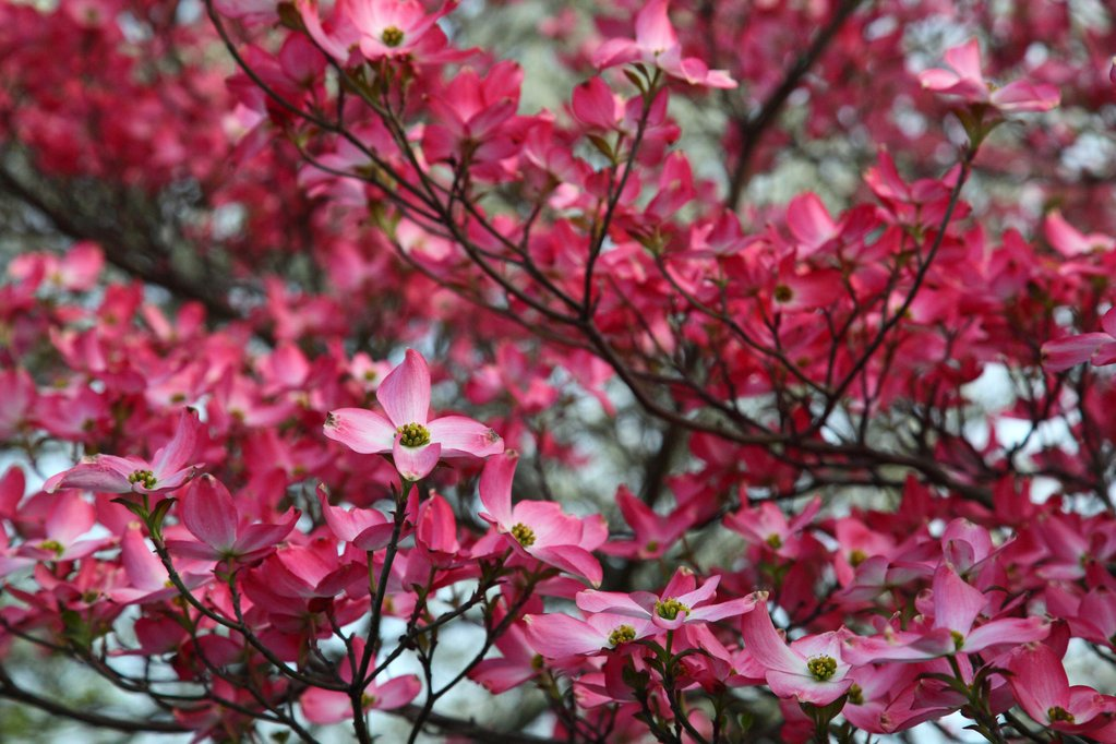 Pink-dogwood-tree-spring-bloom_-_West_Virginia_-_ForestWander_1_1024x1024